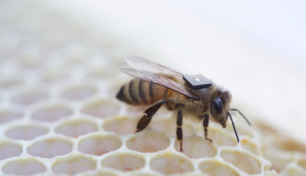 """شناسایی عوامل مرگ کلونی زنبور عسل با استفاده از تراشه های اینتل. محققان در اوایل سال جاری با اینتل به منظور مجهز کردن زنبورهای عسل با یک """"کوله پشتی"""" که یک سوم وزن آنها را دارد، همکاری به عمل آوردند."""