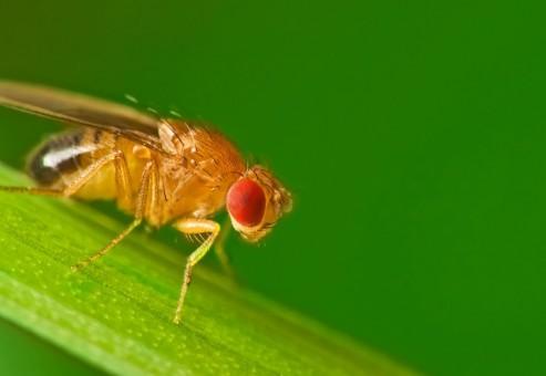 با مطالعه بر روی مگس های میوه تشخیص داده اند که ژن ها می توانند به درمان بیماری پارکینسون کمک کنند