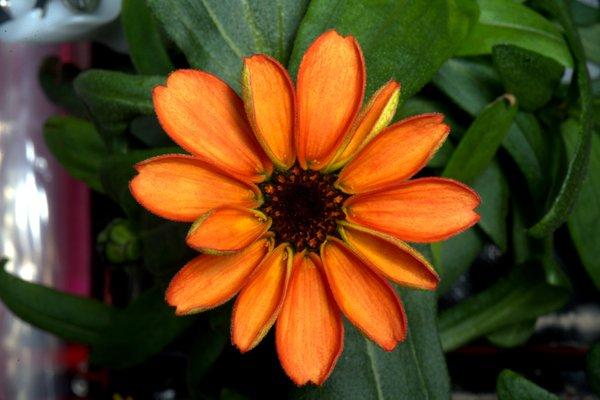 این گیاه آهار (Zinnia) اولین گل رشد کرده در فضا بوده است. این تصویر در ماه ژانویه گرفته شده است.