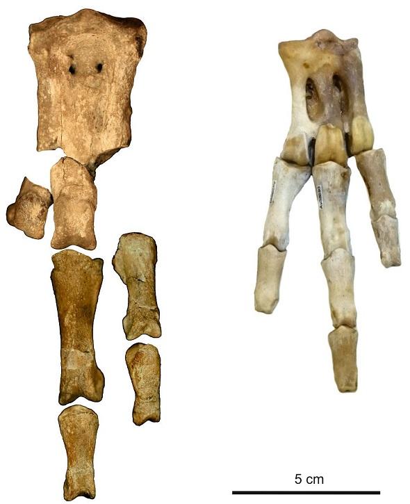 استخوان¬های پنگوئن غول پیکر (سمت چپ) در کنار استخوان¬های پنگوئن مدرن (سمت راست)