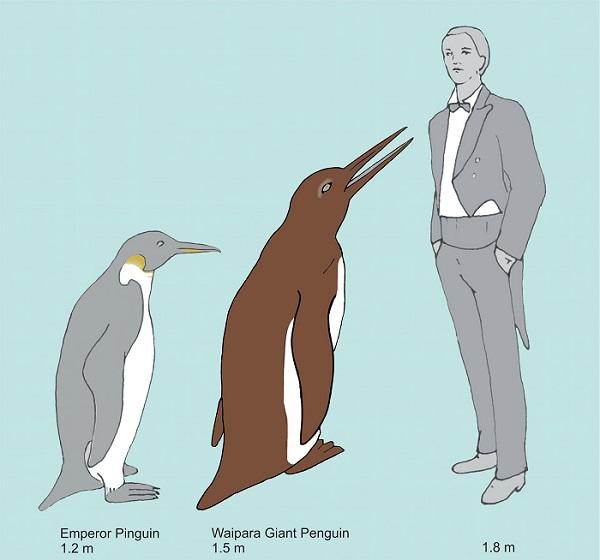 تصویری هنری که پنگوئن غول پیکر وایمانگو را در مقایسه با یک پنگوئن امپراتور مدرن و یک انسان نشان می¬دهد