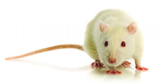 محققان در آزمایش بر روی مدل های حیوانی تجدید نظر می کنند