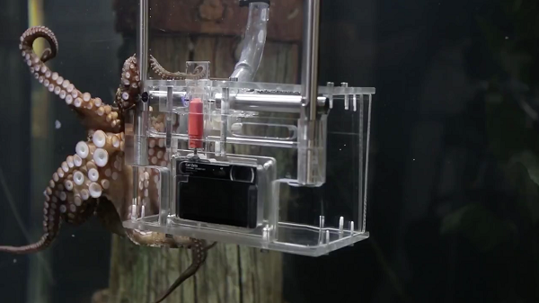 رمبو اختاپوسی است که در آکواریوم بزرگی در کِلی تارلتون در اوکلند، نیوزیلند زندگی می کند. این اختاپوس با استفاده از دوربین دیجیتال ضد آبی که در آکواریومش نصب شده از بازدیدکنندگان عکاسی می کند. در واقع در آکواریوم، دکمه قرمزی وجود دارد که رمبو پس از سه بار شنیدن زنگ، با بهره بدن از هوش بالایش؛ نه مغزش را به کار می اندازد و دکمه را فشار می دهد