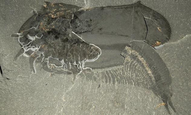 توکومیا کاتالپسیس، فسیل بندپایی است که در سنگ های رسوبی در نزدیکی پارک ملی کوتنای بریتیش کلمبیا، غرب کانادا پیدا شده است
