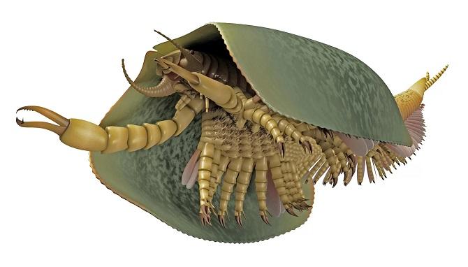 تصویر هنری از توکومیا کاتالپسیس. این جانور دارای یک جفت پنجه گازانبر مانند و پوسته ای بوده که تقریبا تمام بدنش را می پوشانده است. این جانوران به همراه آرواره های مجزا دارای اندام گاز انبری بوده اند