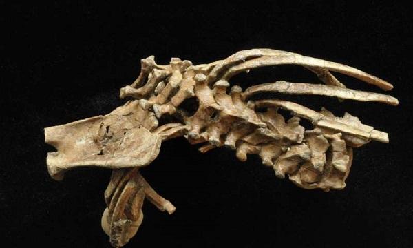 ادامه مطالعات روی سلام نشان داد که ساختار کلی ستون فقرات انسان بیش از 3.3 میلیون سال قبل ظاهر شده است. بنابراین، سلام یکی از شواهد تکامل انسان محسوب میشود