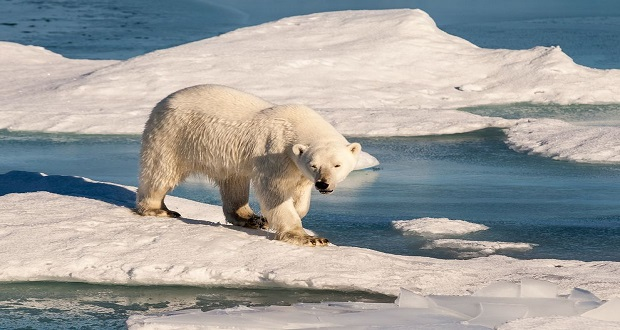 خرسهای قطبی روی تردمیل تند شوندهای از یخهای شکننده راه میروند
