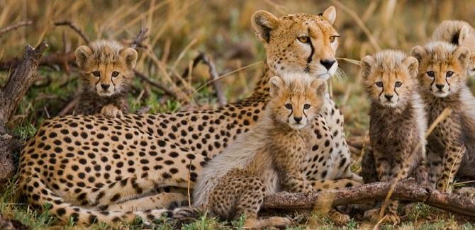 از 177 گونه پستانداری که موردبررسی قرار گرفتند، حداقل 30 درصد محدوده جغرافیایی خود را ازدستدادهاند و بیش از 40 درصد هم حداقل 80 درصد جمعیتشان کاهشیافته است
