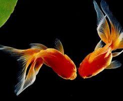 تولید الکل توسط ماهی قرمز راز ماندگاری این موجود در آبهای سرد