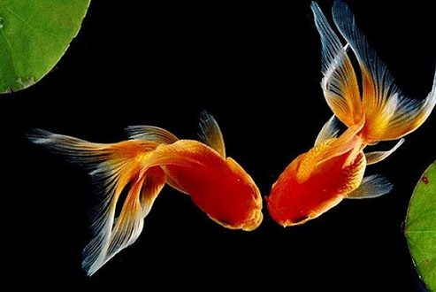 تولید الکل توسط ماهی قرمز راز ماندگاری این موجود در آبهای سرد است
