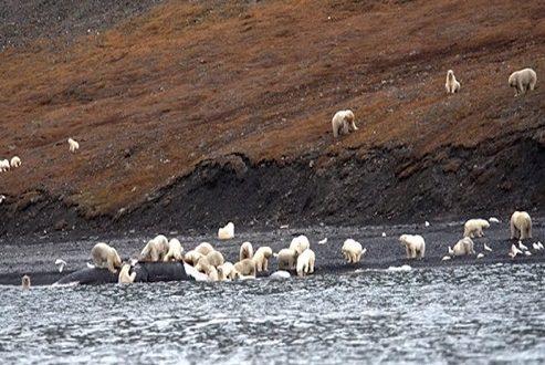 حمله عجیب خرس های قطبی به لاشه یک نهنگ [تماشا کنید]