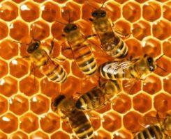 عسل طبیعی زنبورها به شدت آلوده به آفت کش است