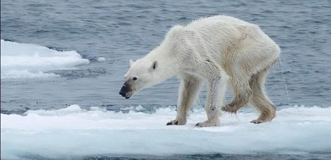 عکس تکاندهندهای که سپتامبر 2015 دوستداران طبیعت را شوکه کرد. این عکس در سوالبارد واقع در اقیانوس منجمد شمالی گرفته شده است. لانگنبرگر عکاس این عکس در صفحه فیسبوک شخصی خود نوشته، علیرغم ادعای دانشمندان مبنی بر عدم تغییر جمعیت خرسهای سوالبارد، او دائما در حال مشاهده خرسهای ماده گرسنه و لاغر است