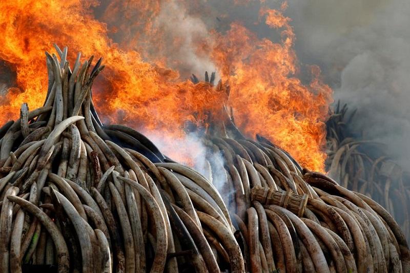 آتش زدن بیش از ۱۰۰ تن عاج و شاخ کرگدن مصادره شده از شکارچیان و قاچاقچیان در پارک ملی نایروبی در کنیا. ۳۰ آوریل ۲۰۱۶. (اعتبار: رویترز)