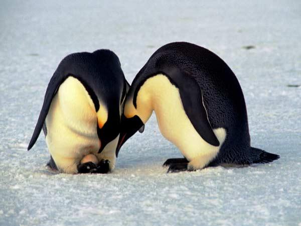 پنگوئن ها