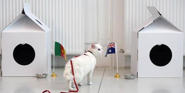 آشیل در حال پیشبینی مسابقه کامرون و استرالیا در جام کنفدراسیونها. آشیل، گربهی سفیدی ناشنوایی است که در زیر زمین موزه دولتی ارمیتاژ در سن پترزبورگ زندگی میکند و سابقه خوبی در پیشبینی مسابقات فوتبال دارد