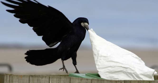 مقامات پارکی در فرانسه، کلاغ ها را برای جمعآوری زباله آموزش دادهاند
