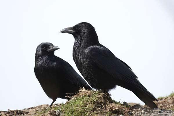 کلاغ، پرندهی بسیار باهوشی است که حتی برخی زیستشناسان میگویند، این پرندگان به اندازه یک کودک هفت ساله با هوش هستند