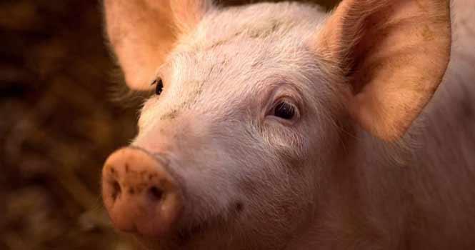 پیوند موفقیت آمیز ریه آزمایشگاهی به خوک ؛ آیا اندام آزمایشگاهی میتواند جان انسانها را نجات دهد؟