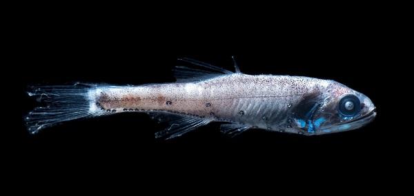 فانوس ماهی