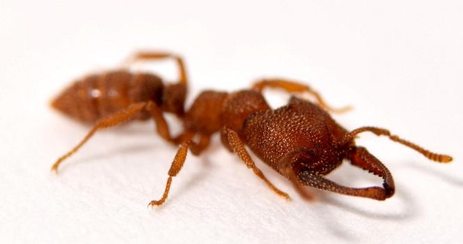 سریعترین حیوان جهان یک مورچه است!