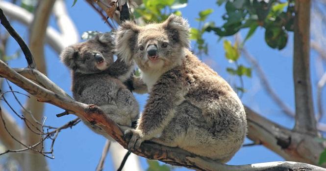 بیش از یک میلیارد جانور در آتش سوزی جنگل های استرالیا نابود شدهاند