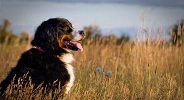 سگنژاد برنس مانتن داگ (Bernese Mountain Dog)