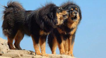 سگنژاد ماستیف تبتی (Tibetan Mastiff)