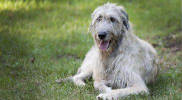 سگنژاد ایرلندی تازی (Irish Wolfhound)