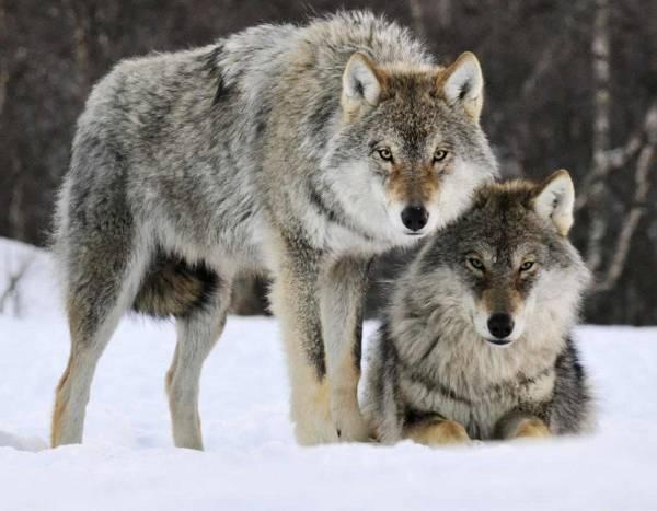 وفاداری گرگها به انسان