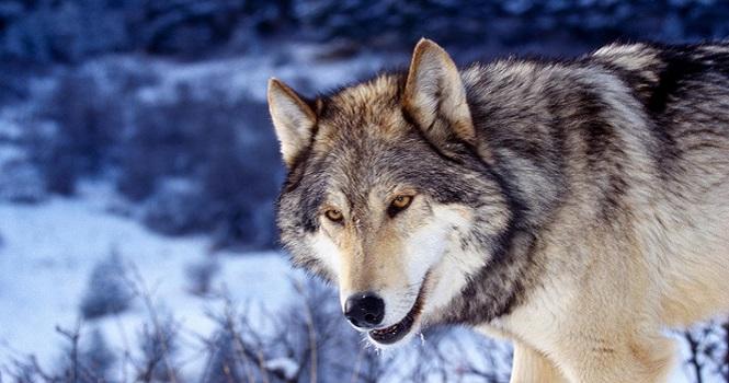 وفاداری گرگها به انسان ؛ گرگ هم مانند سگ به انسان وفادار میماند!
